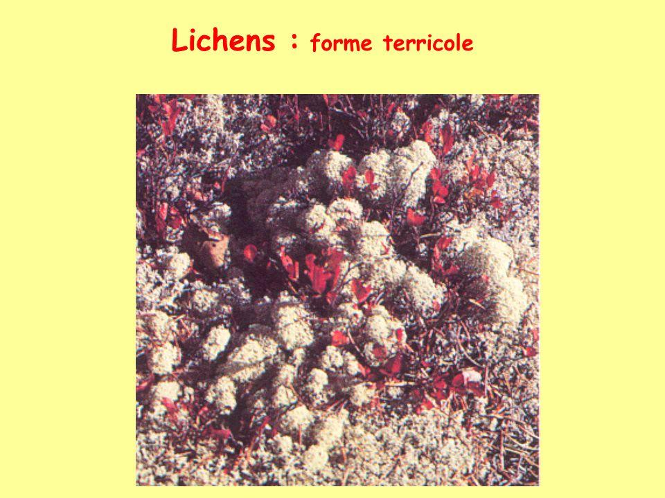 Lichens : forme terricole