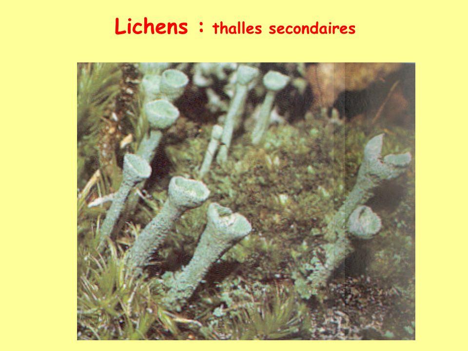 Lichens : thalles secondaires