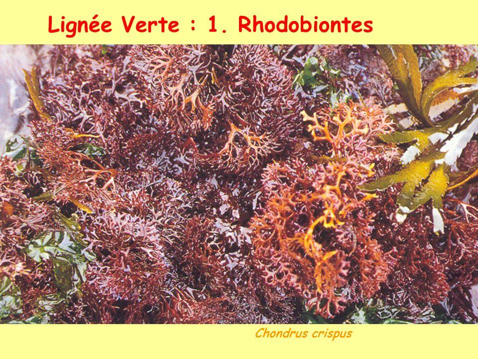 Lignée Verte : 1. Rhodobiontes Chondrus crispus