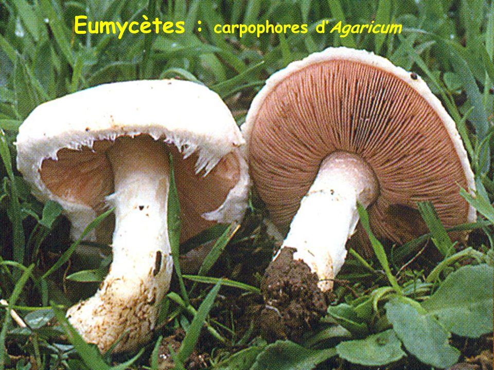 Lignée Verte : 2. Chlorobiontes 2a. Ulvophytes (algues vertes) Cladophora