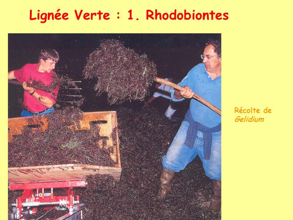 Lignée Verte : 1. Rhodobiontes Récolte de Gelidium