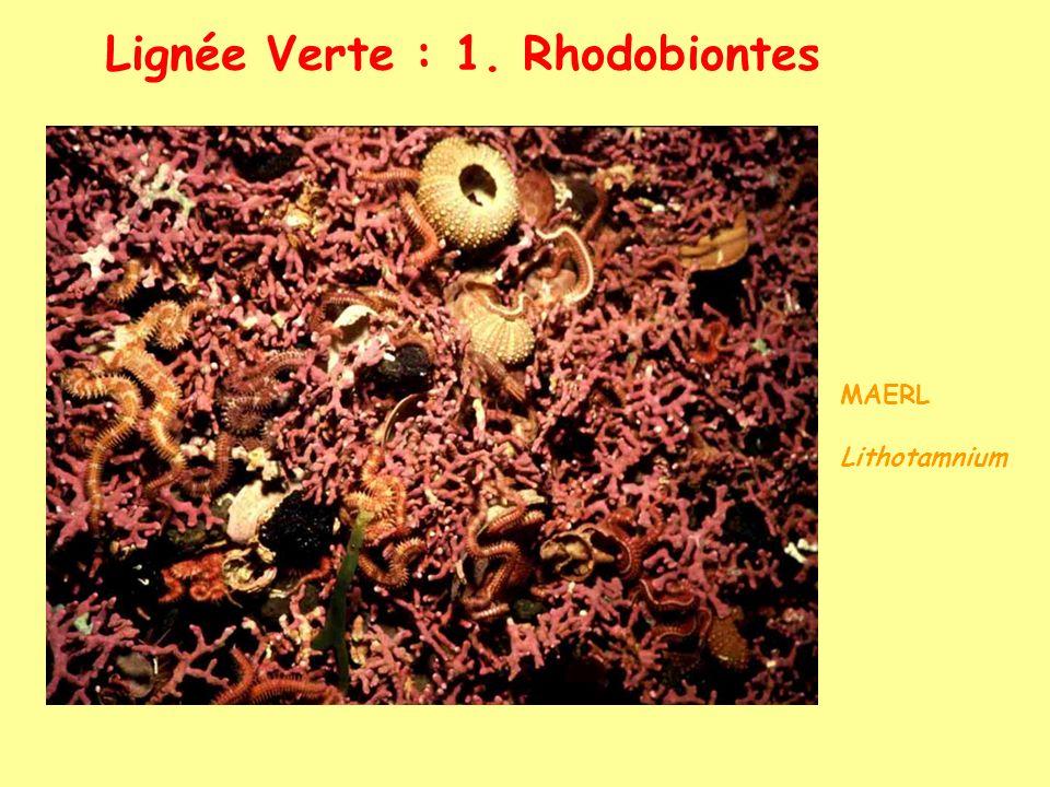 Lignée Verte : 1. Rhodobiontes MAERL Lithotamnium