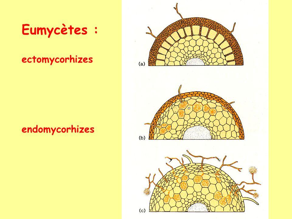 Eumycètes : ectomycorhizes endomycorhizes