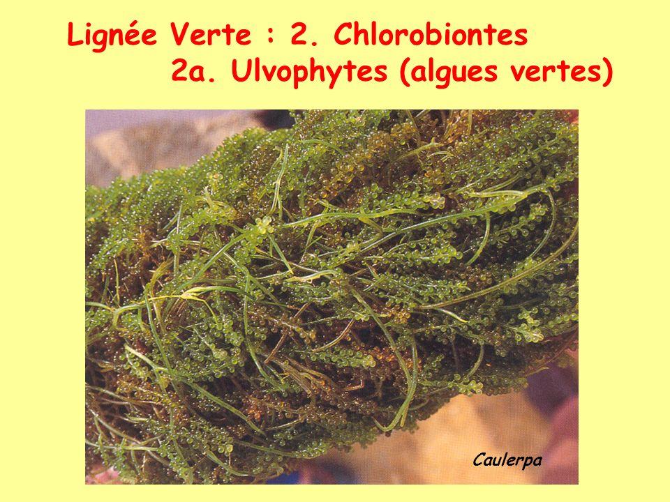 Lignée Verte : 2. Chlorobiontes 2a. Ulvophytes (algues vertes) Caulerpa