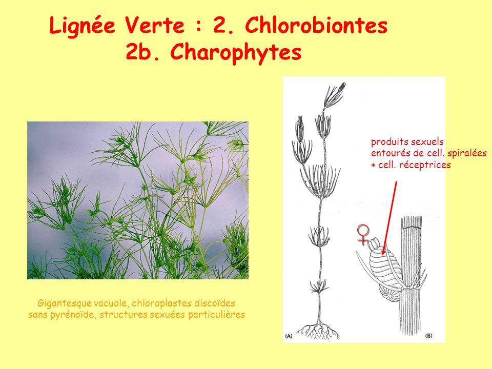 Lignée Verte : 2. Chlorobiontes 2b. Charophytes Gigantesque vacuole, chloroplastes discoïdes sans pyrénoïde, structures sexuées particulières produits