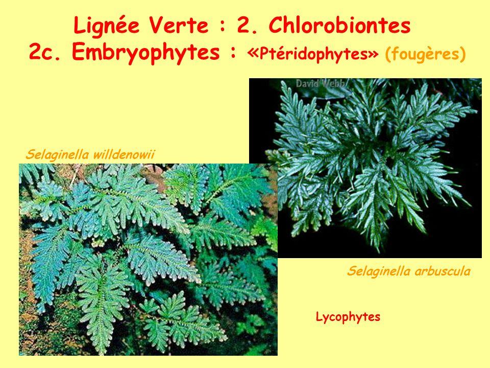 Lignée Verte : 2. Chlorobiontes 2c. Embryophytes : « Ptéridophytes» (fougères) Selaginella arbuscula Selaginella willdenowii Lycophytes