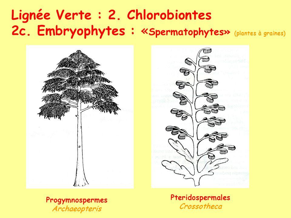 Lignée Verte : 2. Chlorobiontes 2c. Embryophytes : « Spermatophytes» (plantes à graines) Progymnospermes Archaeopteris Pteridospermales Crossotheca