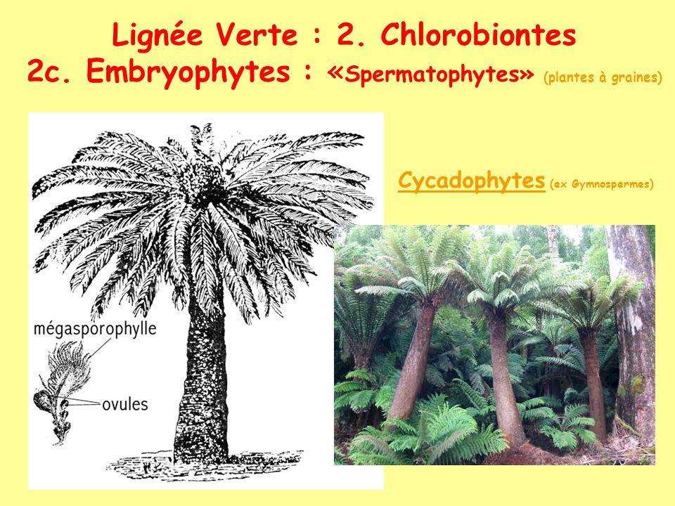 Lignée Verte : 2. Chlorobiontes 2c. Embryophytes : « Spermatophytes» (plantes à graines) Cycadophytes (ex Gymnospermes)