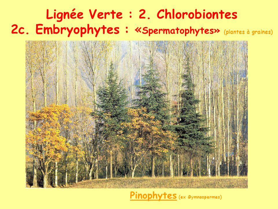 Lignée Verte : 2. Chlorobiontes 2c. Embryophytes : « Spermatophytes» (plantes à graines) Pinophytes (ex Gymnospermes)
