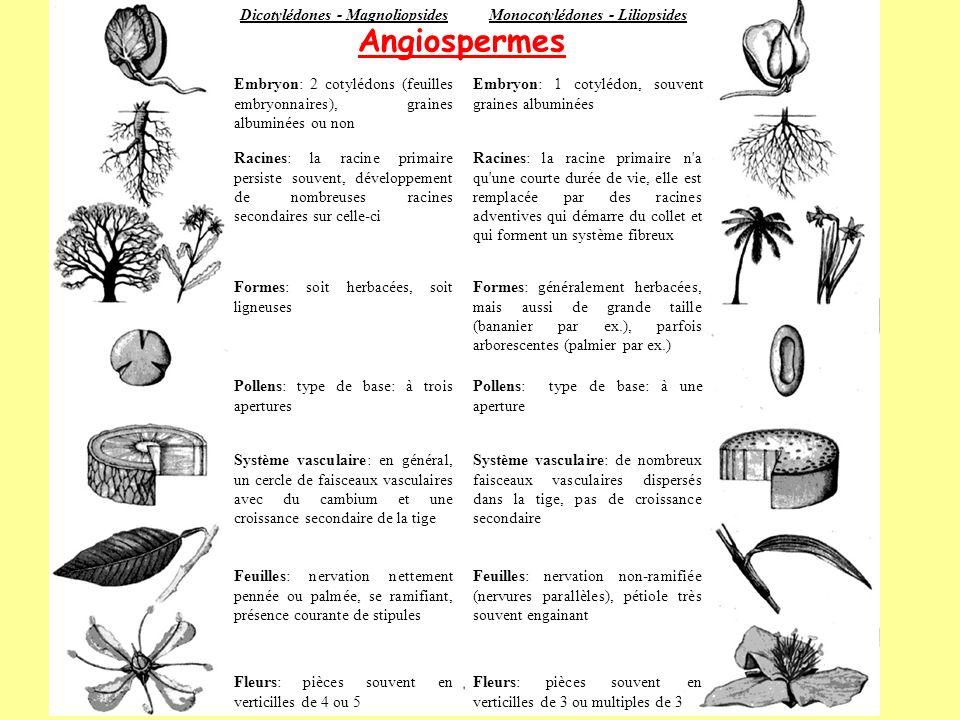 Dicotylédones - MagnoliopsidesMonocotylédones - Liliopsides Embryon: 2 cotylédons (feuilles embryonnaires), graines albuminées ou non Embryon: 1 cotyl