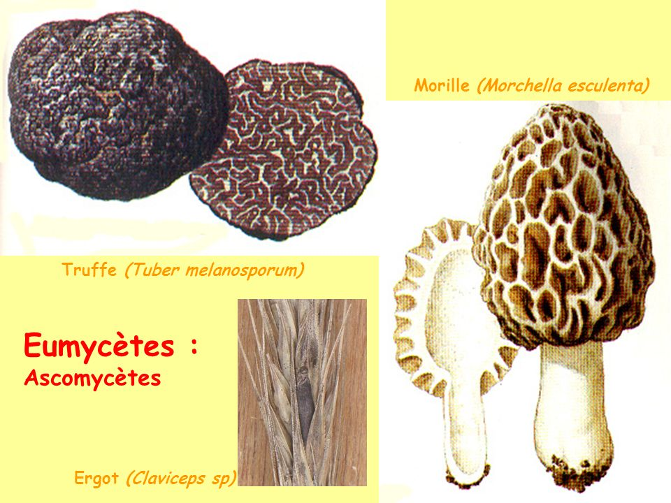 Cycle haplodiplobiontique avec somatogamie champignon ascomycète mycelium n mycelium dicaryo n