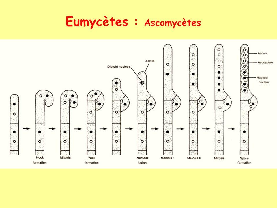 Eumycètes : Ascomycètes
