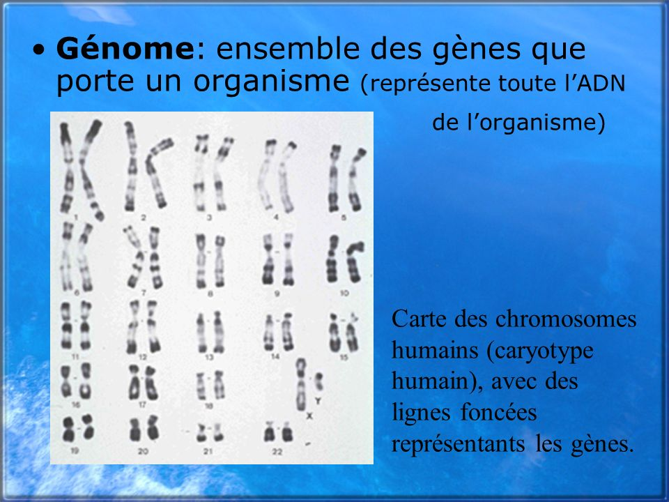 Génome: ensemble des gènes que porte un organisme (représente toute lADN de lorganisme) Carte des chromosomes humains (caryotype humain), avec des lig