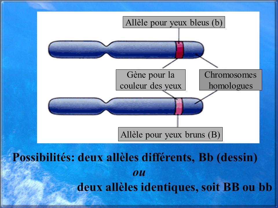 Possibilités: deux allèles différents, Bb (dessin) ou deux allèles identiques, soit BB ou bb Allèle pour yeux bleus (b) Allèle pour yeux bruns (B) Chr