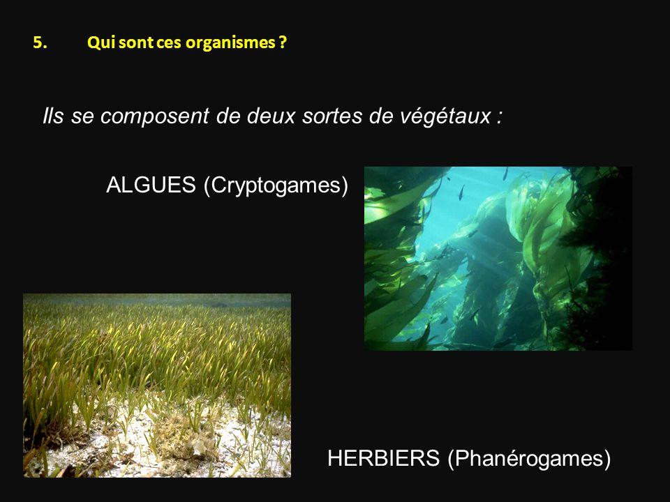 Ils se composent de deux sortes de végétaux : ALGUES (Cryptogames) HERBIERS (Phanérogames) 5.Qui sont ces organismes ?