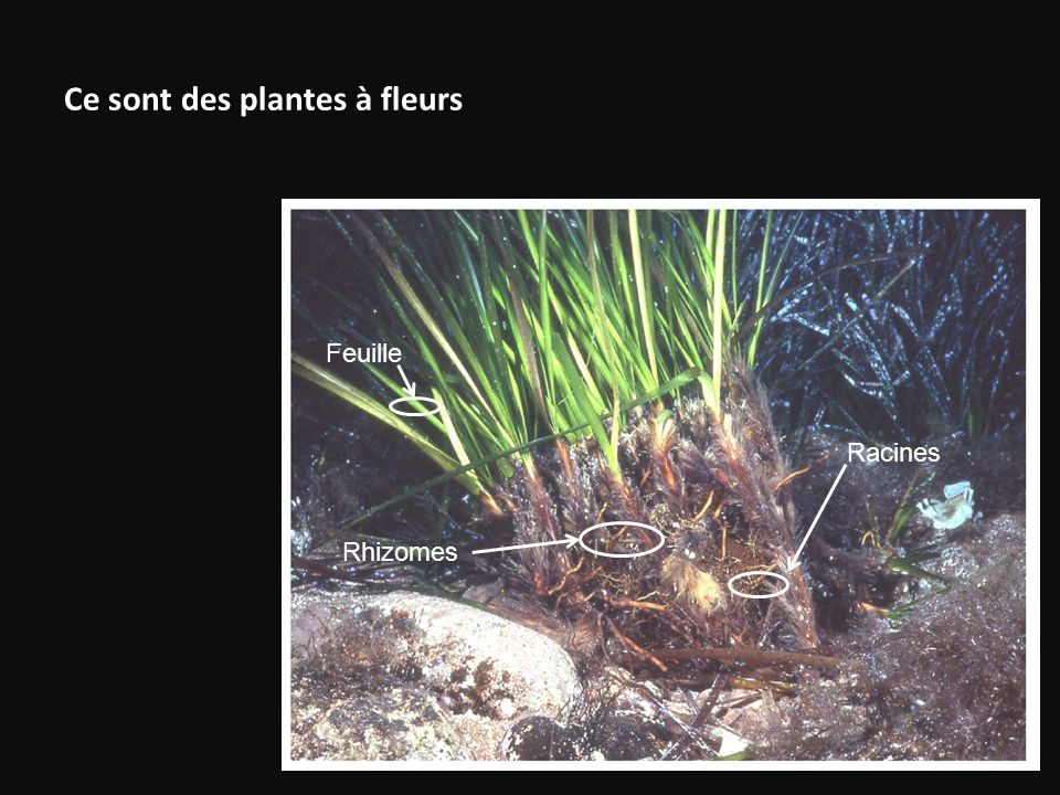 Ce sont des plantes à fleurs Feuille Rhizomes Racines