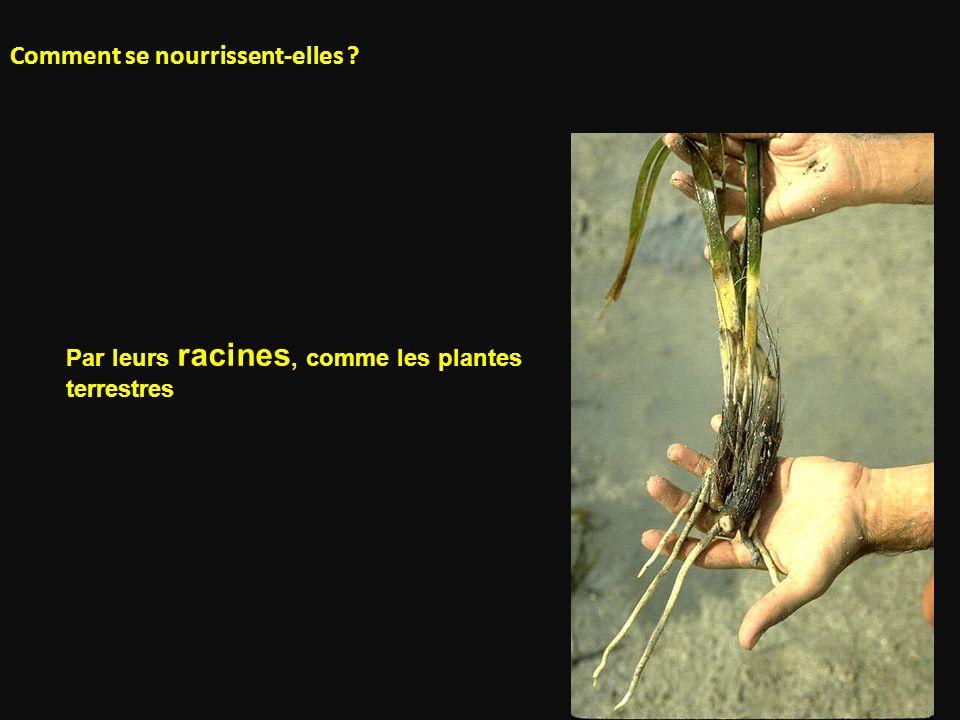 Comment se nourrissent-elles ? Par leurs racines, comme les plantes terrestres