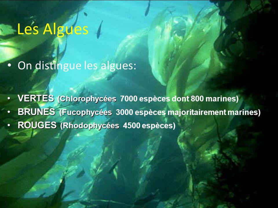 Les Algues On distingue les algues: VERTES (ChlorophycéesVERTES (Chlorophycées 7000 espèces dont 800 marines) BRUNES (FucophycéesBRUNES (Fucophycées 3000 espèces majoritairement marines) ROUGES (RhodophycéesROUGES (Rhodophycées 4500 espèces)