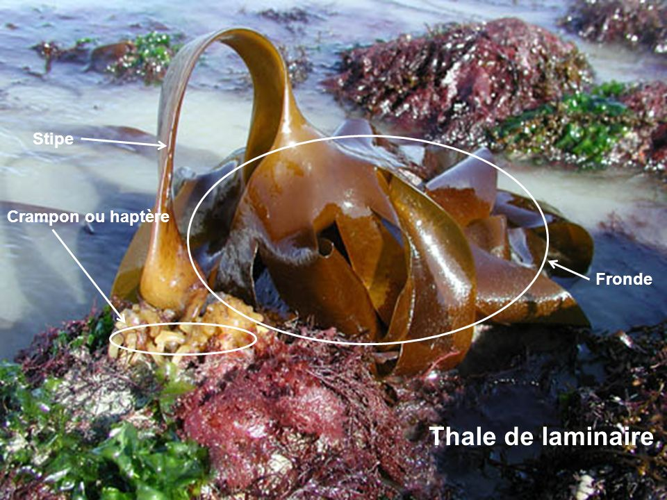 Saccorhiza polyschides Crampon ou haptère Stipe Fronde Thale de laminaire