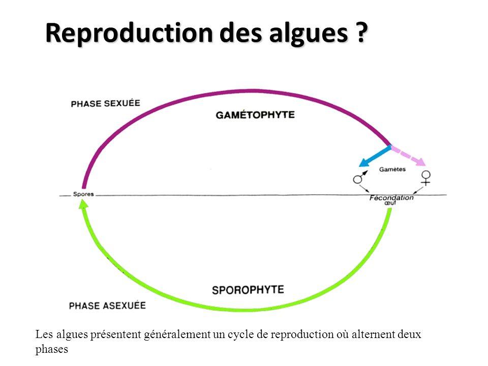 Reproduction des algues ? Les algues présentent généralement un cycle de reproduction où alternent deux phases