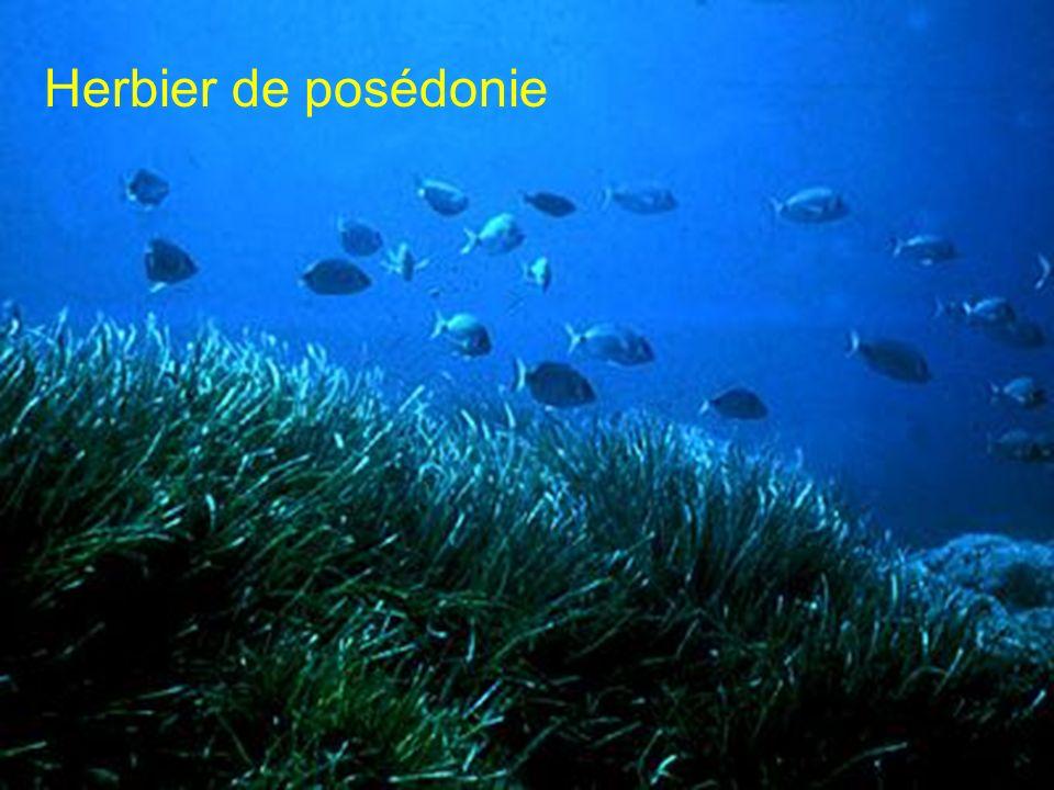 Herbier de posédonie