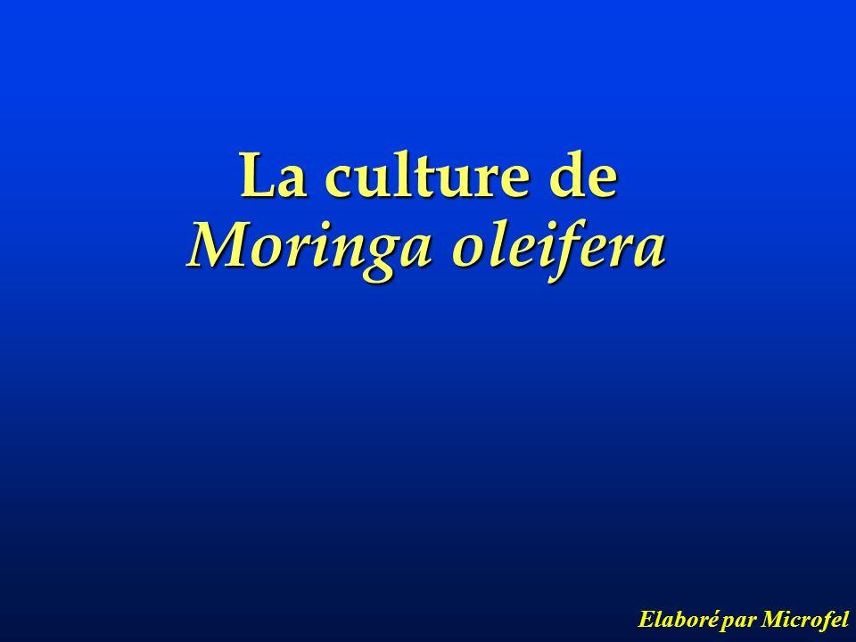 La culture de Moringa oleifera Elaboré par Microfel