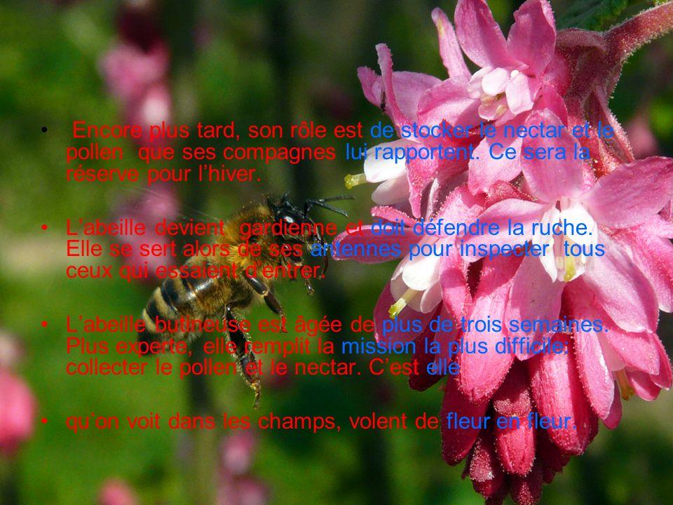 Encore plus tard, son rôle est de stocker le nectar et le pollen que ses compagnes lui rapportent. Ce sera la réserve pour lhiver. Labeille devient ga