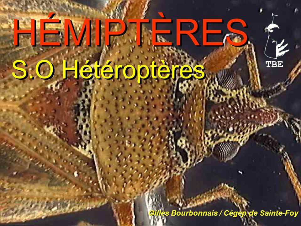 HÉMIPTÈRES S.O Hétéroptères Gilles Bourbonnais / Cégep de Sainte-Foy TBE