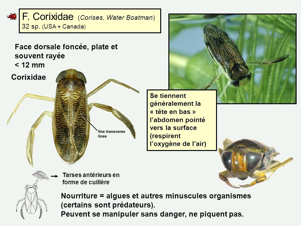 F. Corixidae (Corises, Water Boatman) 32 sp. (USA + Canada) Nourriture = algues et autres minuscules organismes (certains sont prédateurs). Peuvent se