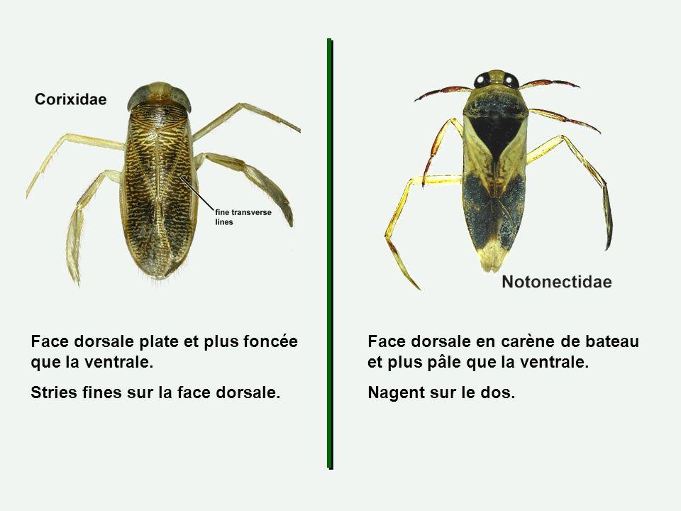 Face dorsale plate et plus foncée que la ventrale. Stries fines sur la face dorsale. Face dorsale en carène de bateau et plus pâle que la ventrale. Na