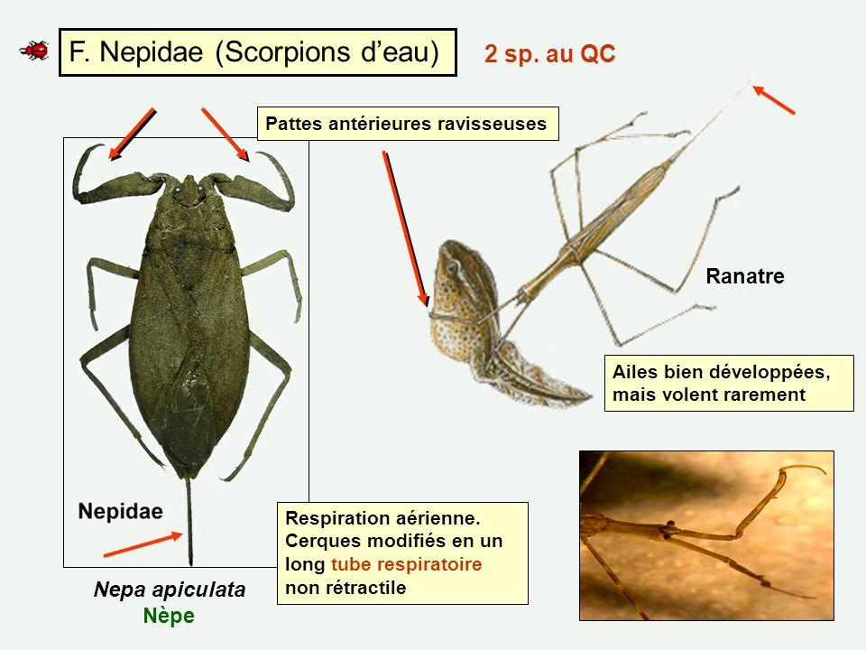 F. Nepidae (Scorpions deau) Pattes antérieures ravisseuses Respiration aérienne. Cerques modifiés en un long tube respiratoire non rétractile Ranatre