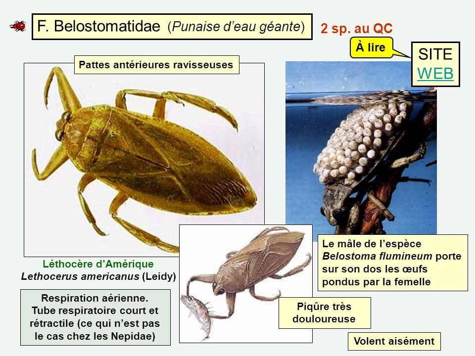 F. Belostomatidae (Punaise deau géante) Pattes antérieures ravisseuses Le mâle de lespèce Belostoma flumineum porte sur son dos les œufs pondus par la