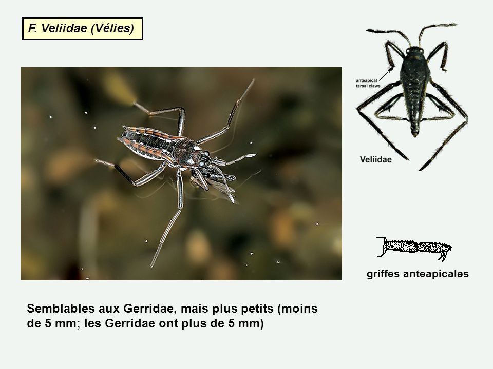 F. Veliidae (Vélies) Semblables aux Gerridae, mais plus petits (moins de 5 mm; les Gerridae ont plus de 5 mm) griffes anteapicales