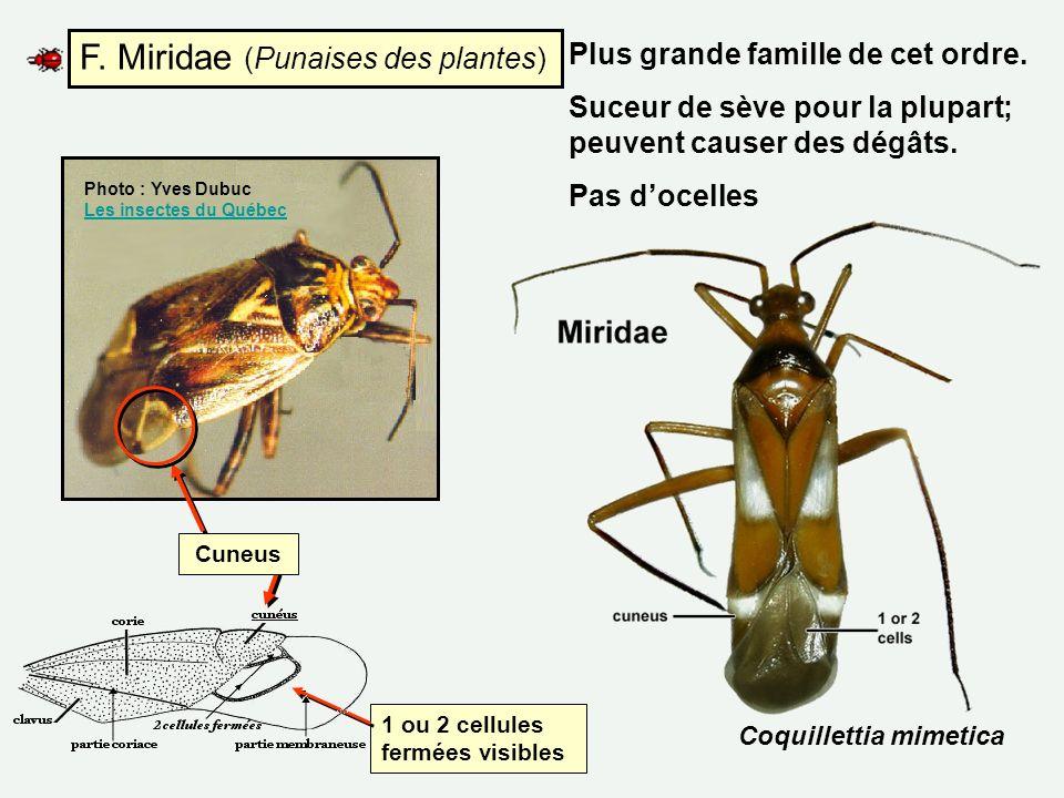 F. Miridae (Punaises des plantes) Cuneus Coquillettia mimetica 1 ou 2 cellules fermées visibles Photo : Yves Dubuc Les insectes du Québec Les insectes