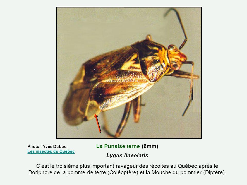 La Punaise terne (6mm) Lygus lineolaris Cest le troisième plus important ravageur des récoltes au Québec après le Doriphore de la pomme de terre (Colé