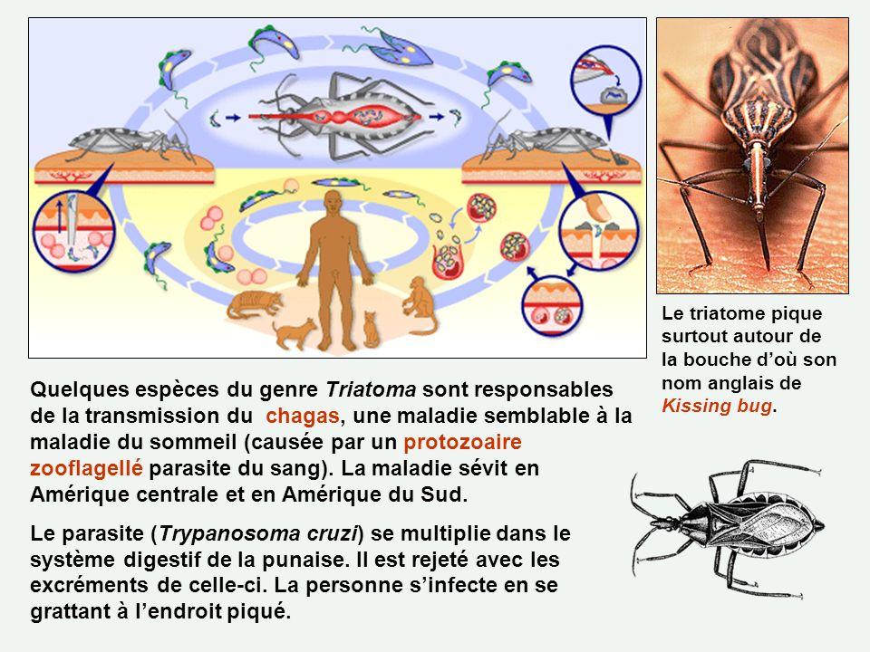 Quelques espèces du genre Triatoma sont responsables de la transmission du chagas, une maladie semblable à la maladie du sommeil (causée par un protoz