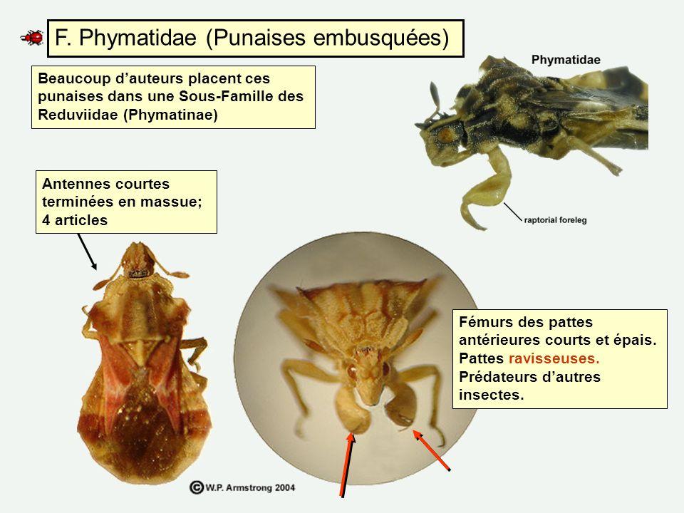 F. Phymatidae (Punaises embusquées) Beaucoup dauteurs placent ces punaises dans une Sous-Famille des Reduviidae (Phymatinae) Fémurs des pattes antérie
