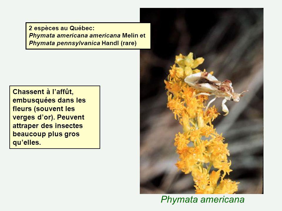 Phymata americana 2 espèces au Québec: Phymata americana americana Melin et Phymata pennsylvanica Handl (rare) Chassent à laffût, embusquées dans les