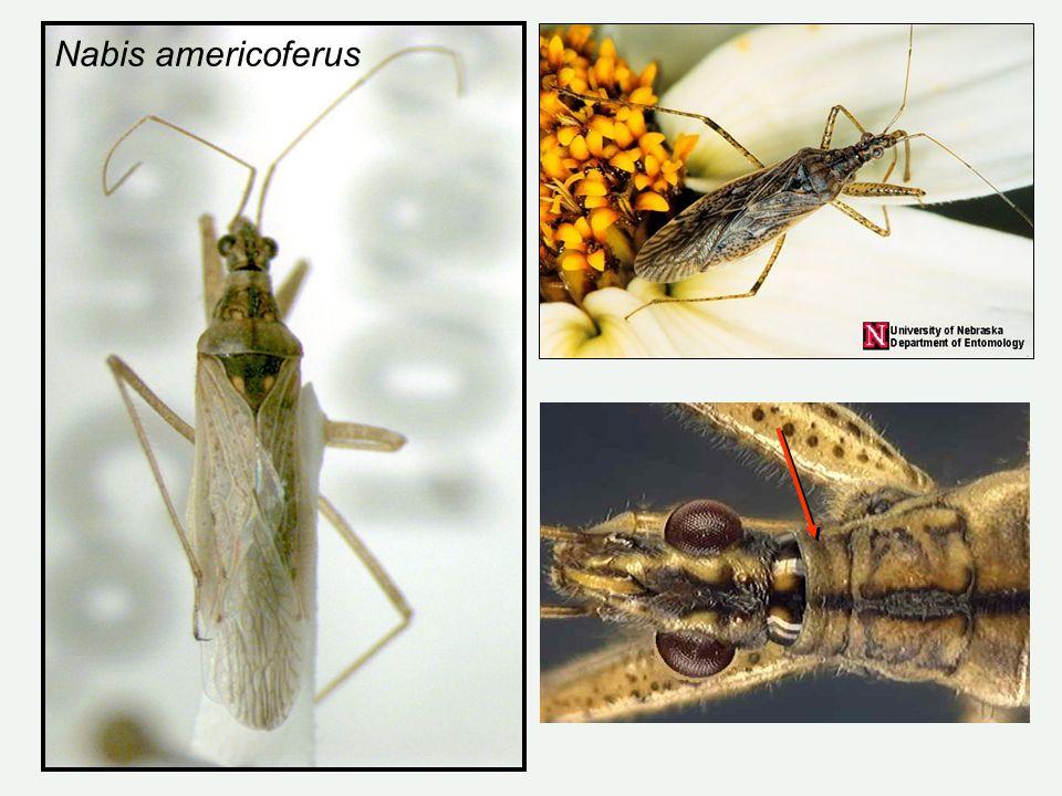 Nabis americoferus