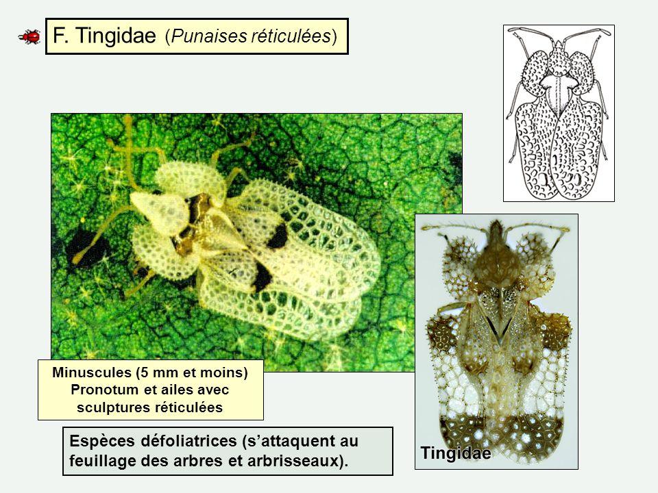 F. Tingidae (Punaises réticulées) Minuscules (5 mm et moins) Pronotum et ailes avec sculptures réticulées Espèces défoliatrices (sattaquent au feuilla