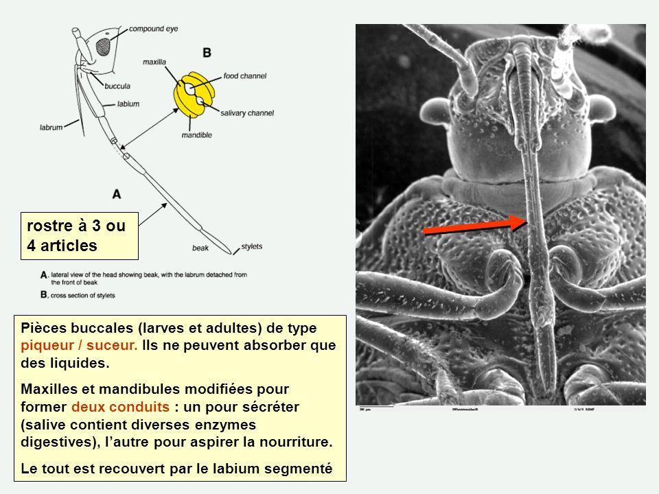 Pièces buccales (larves et adultes) de type piqueur / suceur. Ils ne peuvent absorber que des liquides. Maxilles et mandibules modifiées pour former d