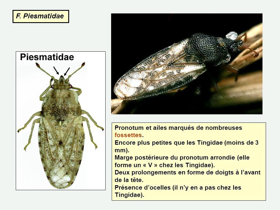 F. Piesmatidae Pronotum et ailes marqués de nombreuses fossettes. Encore plus petites que les Tingidae (moins de 3 mm). Marge postérieure du pronotum