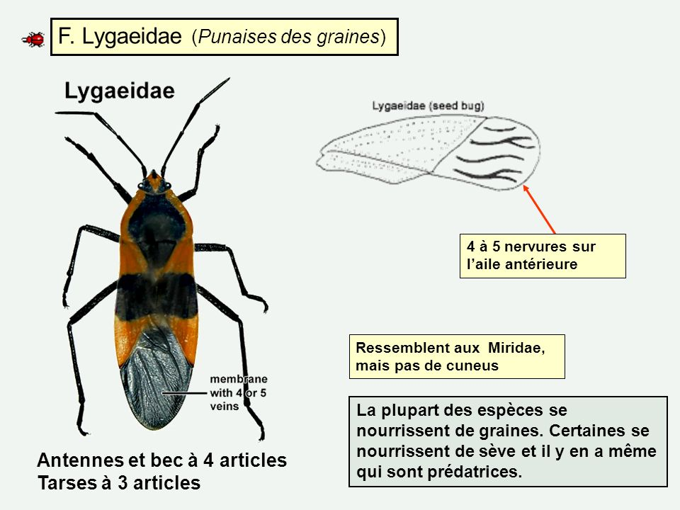 F. Lygaeidae (Punaises des graines) Ressemblent aux Miridae, mais pas de cuneus 4 à 5 nervures sur laile antérieure La plupart des espèces se nourriss