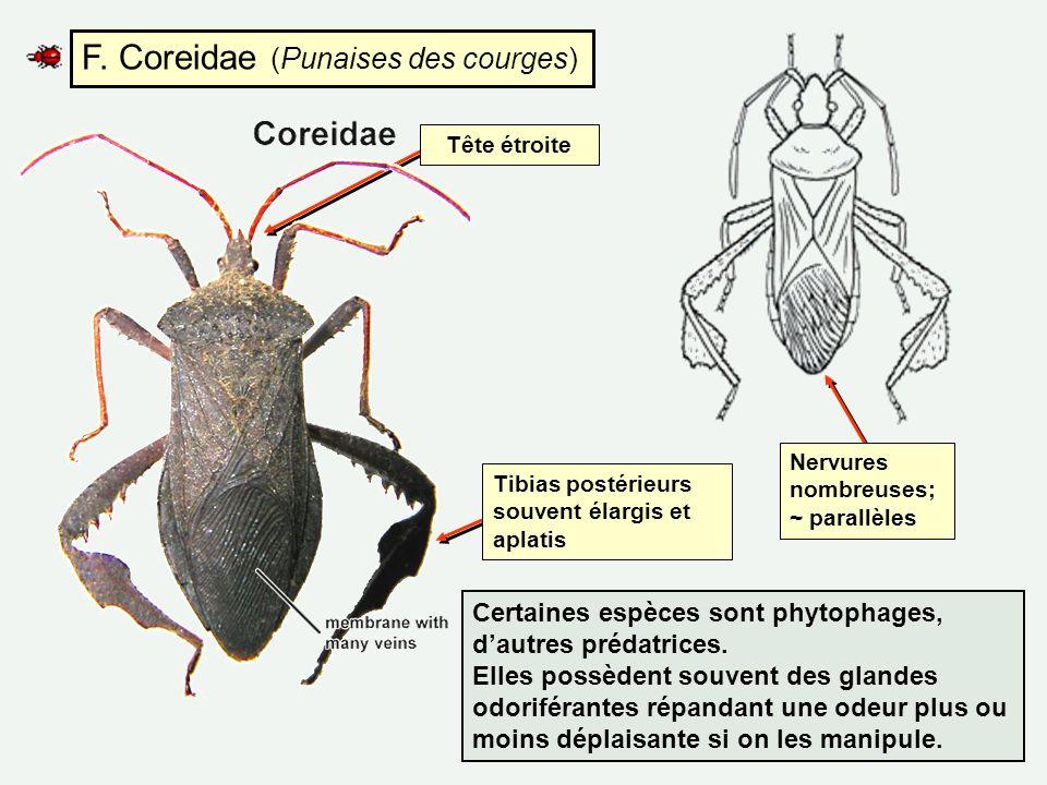 F. Coreidae (Punaises des courges) Nervures nombreuses; ~ parallèles Tibias postérieurs souvent élargis et aplatis Tête étroite Certaines espèces sont