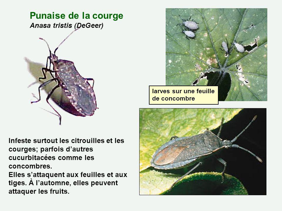 Punaise de la courge Anasa tristis (DeGeer) Infeste surtout les citrouilles et les courges; parfois dautres cucurbitacées comme les concombres. Elles