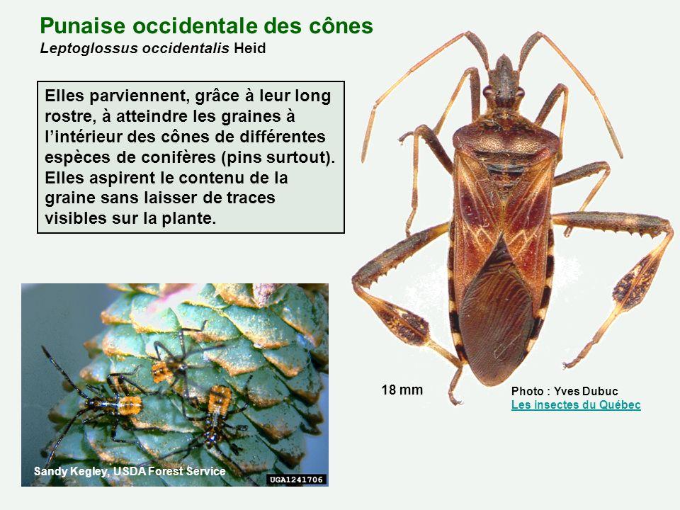 Punaise occidentale des cônes Leptoglossus occidentalis Heid Photo : Yves Dubuc Les insectes du Québec Les insectes du Québec 18 mm Elles parviennent,