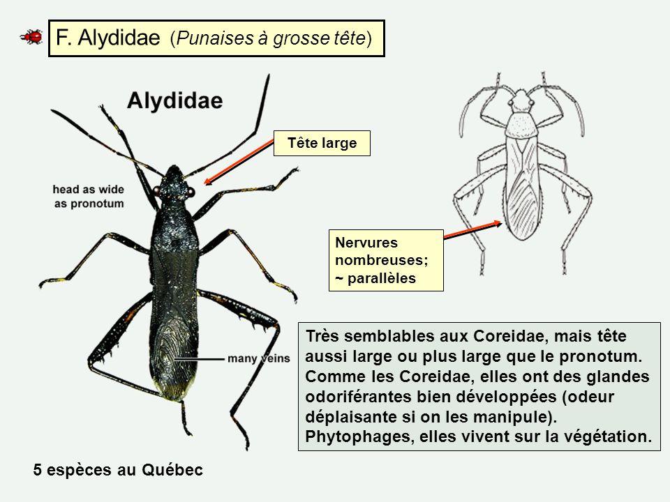 F. Alydidae (Punaises à grosse tête) Très semblables aux Coreidae, mais tête aussi large ou plus large que le pronotum. Comme les Coreidae, elles ont