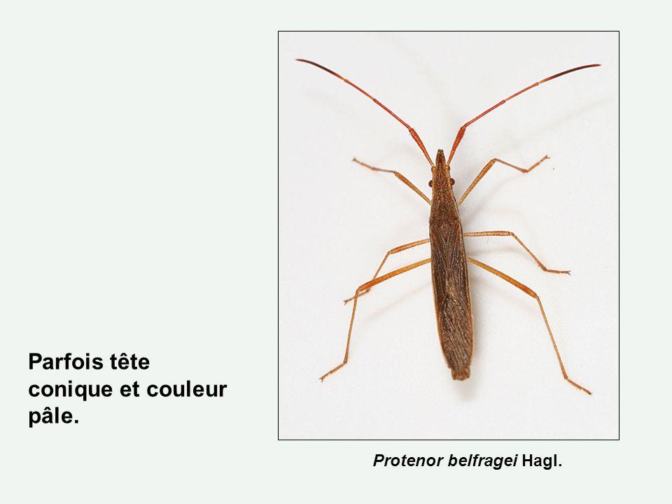 Protenor belfragei Hagl. Parfois tête conique et couleur pâle.