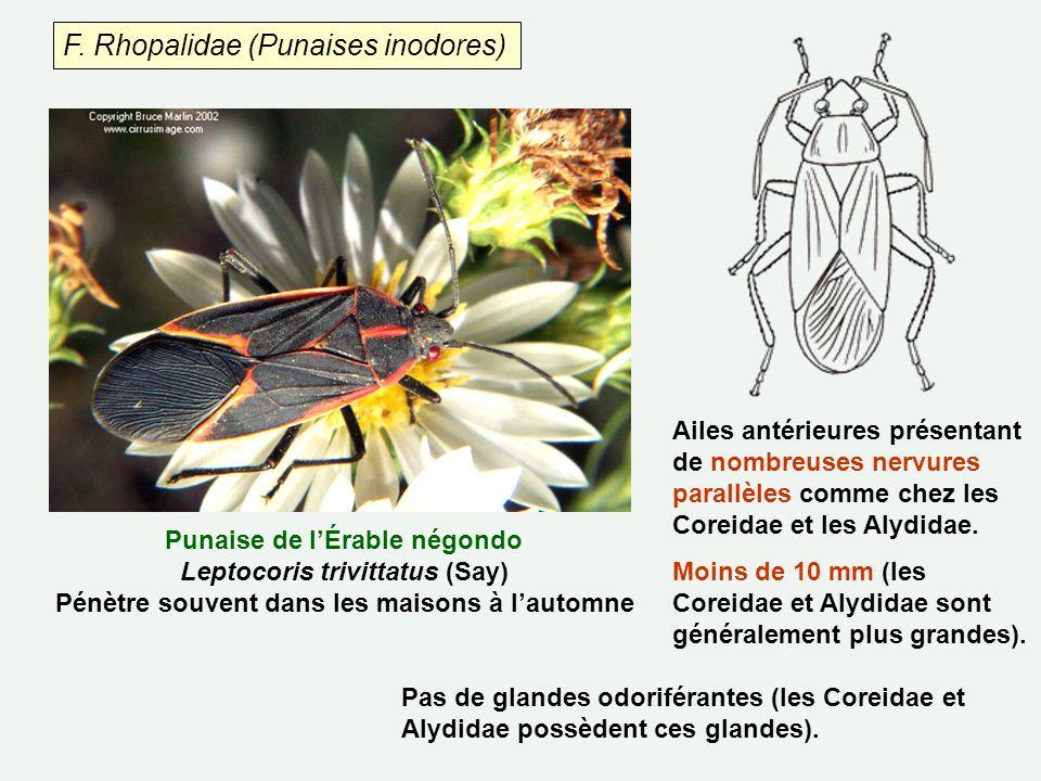 F. Rhopalidae (Punaises inodores) Ailes antérieures présentant de nombreuses nervures parallèles comme chez les Coreidae et les Alydidae. Moins de 10