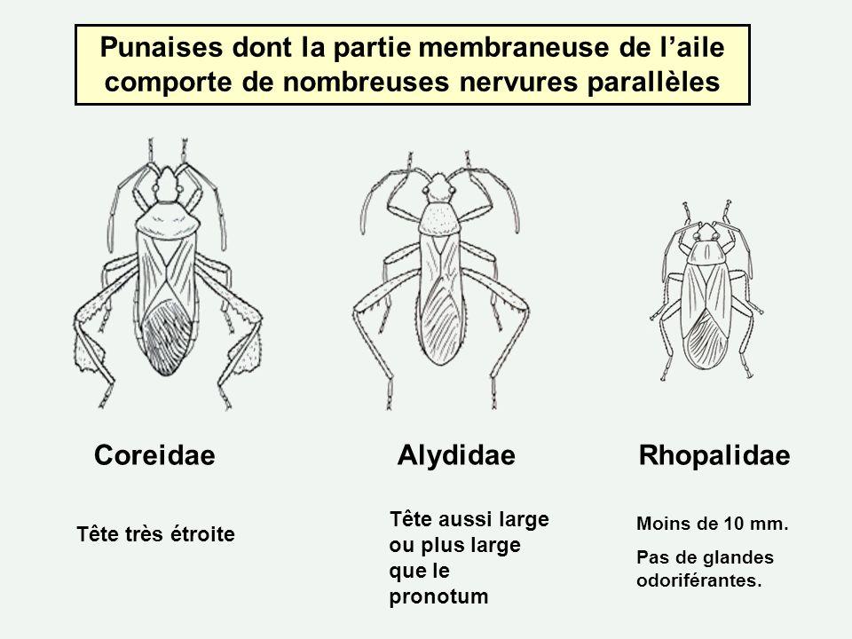 Punaises dont la partie membraneuse de laile comporte de nombreuses nervures parallèles CoreidaeRhopalidae Alydidae Tête très étroite Tête aussi large